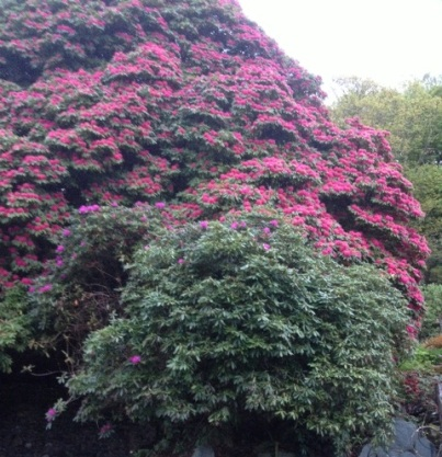 The Mighty Rhododendron Bush in the Grounds of Brantwood, near Coniston
